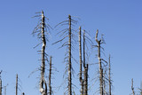 dead trees in big spruce forest #8 poster