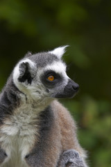 ringed-tailed lemur.