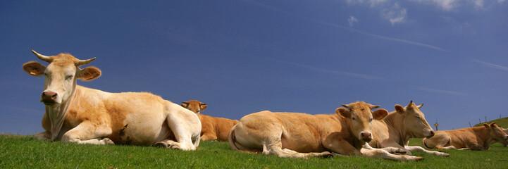 les vaches au soleil