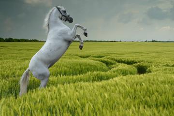 grey rearing in wheat field