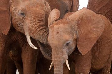 African elephant adolescents cuddling