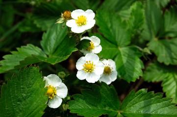 rosaceae - fragaria viridis duch