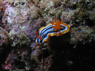 nudibranch, sipadan, borneo