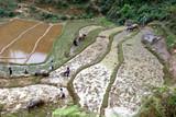 culture des rizieres poster