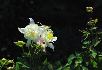 creamy white columbine flowers