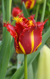 tulip with fringe poster