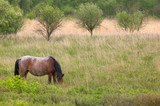 wild horse grazing poster