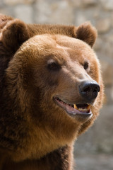 close up portret of a brown bear