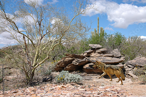 timber wolf in desert