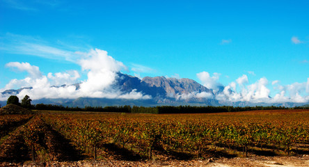 vineyard on pleisir de merle wine farm in autumn