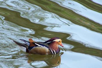 canard-mandarin