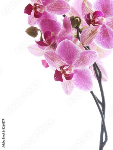 Fototapeten,orchidee,blume,rosa,rosa
