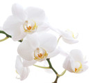 white orchid - 3266517