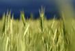 roleta: le blé vert
