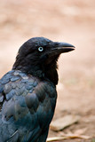 australian raven poster