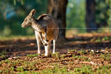 kangaroo looking left poster