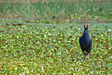 water hen in wetlands poster