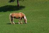 braunes pferd poster