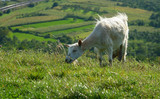 white goat on green pasture poster