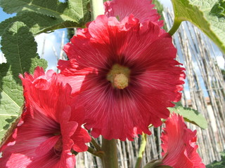 bright red hollyhock