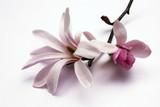 Fototapety magnolia blossom