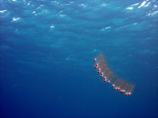 salp in the water 1