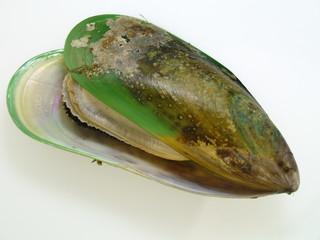 neuseeländische grünlip muschel