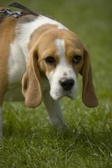 beagles 01