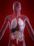 organ anatomie vom menschen poster