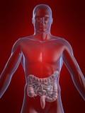 menschliche anatomie mit darm poster