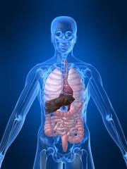 menschliche abbildung mit organen