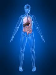 menschliches skelett mit organen