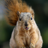 cute squirrel sticking her tongue out poster