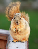 cute squirrel standing and begging for food poster