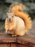cute begging  squirrel poster