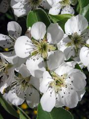 flowerses apple-tree macro