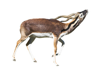 indian black buck antelope isolated over white bac