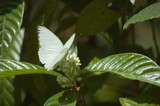 great southern white butterfly feeding on a flower - 3335195