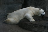 having a rest polar bear