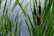 cattails & reeds