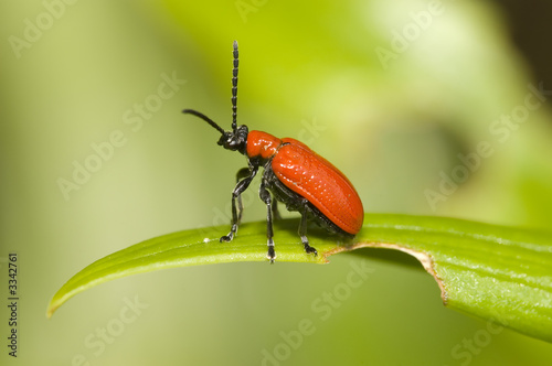 red lily leaf beetle bug