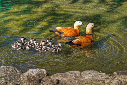 roody shelduck family in pond