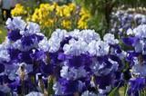 bounty of iris poster