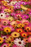 osteospermum flowers lots