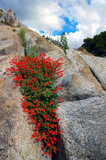 red wildflowers on granite poster