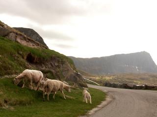 pecore in fuga