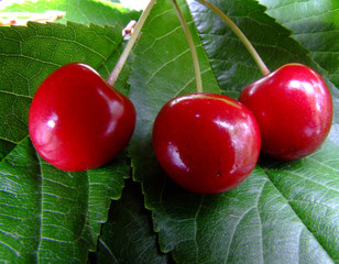 cherries on a leaf