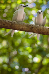 fairy terns