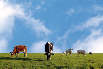 grazing herd of cows