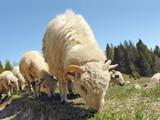 herd of sheep grazing poster